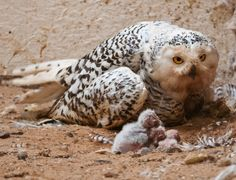 Snowy Owl (Bubo scandiacus) and young (by Steve Liptrot Photography)