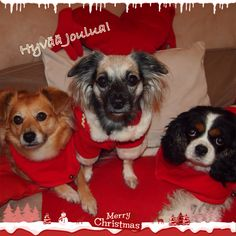 MerryChristmas Charles Spaniel, Cavalier King Charles, Spaniels, Merry, Dogs, Animals, Animais, Animales, Animaux