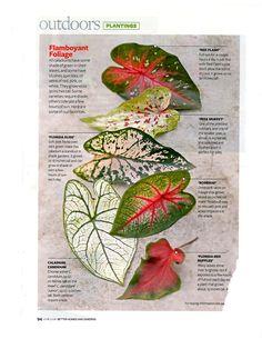 Caladiums / favorite foliage