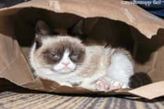 Cats love bags, Grumpy Cat hates them (but is ok to sleep in them)