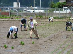 【御田植】平成24年5月26日、伝統的稲作行事『御田植』(主催・巴会)にて。早乙女に続き、お田植参加者も田植えを行いました⑤。
