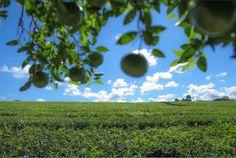 Bellísimo complejo donde se pueden apreciar plantaciones de té y yerba. El predio posee salón de artesanías, vivero y ofrece degustaciones de té con bocados regionales. Un imperdible, la colección de cerca de 50 especies de orquídeas misioneras, Dirección: Picada Vélez Sarsfield a 1,5 km de la ruta provincial N° 4.