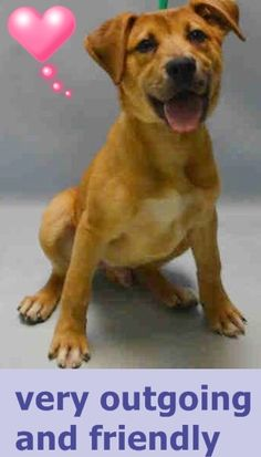 Brooklyn Center PAXTON – A1064364 MALE, BROWN / WHITE, GERM SHEPHERD / LABRADOR RETR, 4 mos STRAY – EVALUATE, NO HOLD Reason STRAY Intake condition UNSPECIFIE Intake Date 02/04/2016 http://nycdogs.urgentpodr.org/paxton-a1064364/
