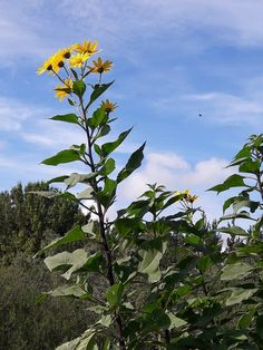 Jerusalem Artichoke – Kahikatea Farm Certified Organic Nursery and Permaculture Farm Artichoke Plants, Cooking Bacon, Root Vegetables, Eating Raw, Sauerkraut, Late Summer, Permaculture, Jerusalem, Potted Plants