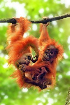 Young orangutans