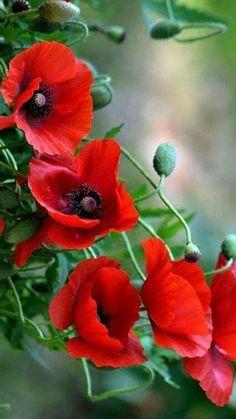 Beautiful flowers/ Encyclopedia of Plants/ Forum of gardeners Exotic Flowers, Amazing Flowers, Red Flowers, Beautiful Flowers, Edible Flowers, Simply Beautiful, Beautiful Pictures, Red Poppies, Flower Photos
