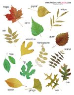 A photo printable chart of  different leaves and  variations of leaves.  This  makes a great classroom  chart or notebooking  reference chart.