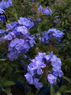 Summer gardening with blue. Blue is often associated with serenity, calm and spirituality.