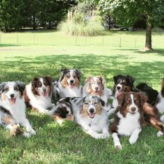 10 Things Only an Australian Shepherd Owner Would Understand | WOOFipedia by The American Kennel Club