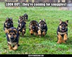 Wicked Training Your German Shepherd Dog Ideas. Mind Blowing Training Your German Shepherd Dog Ideas. Animals And Pets, Baby Animals, Funny Animals, Cute Animals, Cute Puppies, Cute Dogs, Dogs And Puppies, Doggies, Yorkie Puppies