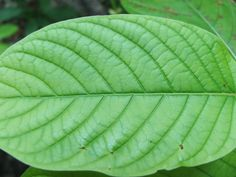 The Health Benefits of Kratom: Kratom is a tropical deciduous tree that is widely used throughout the region for medicinal purposes