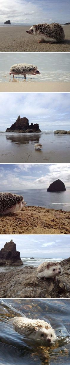 Hedgehogs trip to the beach http://animalfactsblog.com/what-do-hedgehogs-eat/