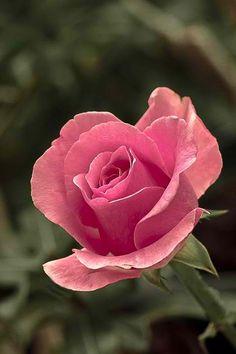 Resultado de imagem para pink rose with thorns