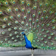 The male India Blue Peafowl, commonly known as the peacock, is known for its vibrantly extravagant display of bright feathers.