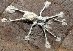 Spider killed by a fungal(Gibellula clavulifera) infection Mushroom Spores, A Bug's Life, Fungi, Natural World, Stuffed Mushrooms, Spider Webs, Spiders, Zombies, Creepy