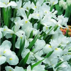 Iris x hollandica  Casablanca has tall elegant foliage with pure white blooms and a yellow tongue.  Dutch Iris are easy to grow with very low maintenance.  They can be left in the ground for continual year after year flowering.  But don't just enj...