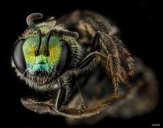 Photo Gallery: Surprising Backyard Bees