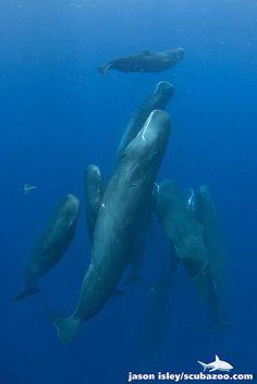 Sperm whale (Physeter macrocephalus) taken under permit. Dominica