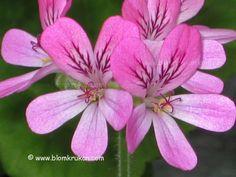 Geranium Pink capitatum paahdettu tuoksu kukkaruukun