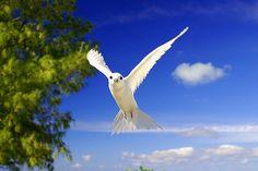 White Fairy Tern