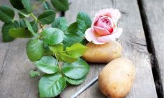 How to Take Rose Cuttings and Grow Roses in Potatoes. Propagating roses by cuttings is easy, and it brings certain side benefits. Gardening For Beginners, Gardening Tips, Organic Gardening, Transplanting Roses, Roses In Potatoes, Comment Planter Des Roses, Rose Potato, Grow Banana Tree, How To Grow Bananas