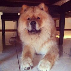 Look at that chow chow face. Best Dogs For Families, Family Dogs, Black Tongue, Chinese Dog, Chow Chow Dogs, Lion Dog, Like A Lion, Cute Baby Animals, Cuddling