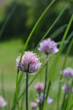 My Chives