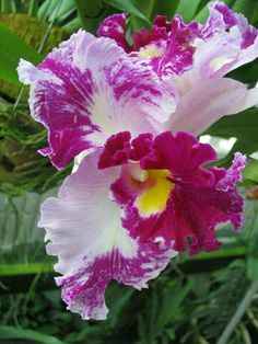 Garden Flowers - Annuals Or Perennials Cattleya Orchid Orchid Http:Growingorchids. Unusual Flowers, Most Beautiful Flowers, Rare Flowers, Flowers Nature, Pretty Flowers, Orchid Varieties, Cattleya Orchid, Orchidaceae, Flower Pictures