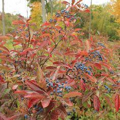 Proven Winners - Brandywine™ - Viburnum nudum white plant details, information and resources.