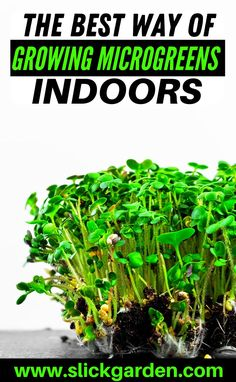 The Best Method Of Growing Microgreens Indoors. Water is necessary for the survival and growth rate of any plant. Try to water regularly so your seedlings will not remain thirsty. You can check the moisture of the soil by touching with your fingers. Your soil should be always moist but not soggy. #microgreensindoor #growmicrogreens