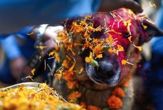 Nepal's Beautiful Kukur Tihar Festival Honors, Celebrates And Worships Dogs.