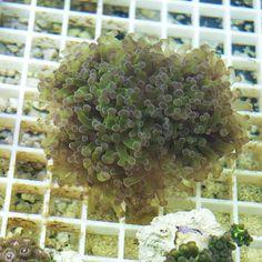 Euphyllia Glabrescens El Pez Payaso LPS coral acuario marino acuariofilia