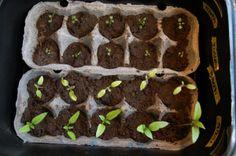Koulitut kasvit riveissä munakennoissa