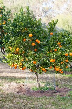 Citrus trees were an integral part of an Australian backyard and still have an important place in today's garden. Potted Fruit Trees, Dwarf Fruit Trees, Growing Fruit Trees, Fast Growing Trees, Citrus Trees, Orange Trees, Satsuma Tree, Permaculture, Orchard Design