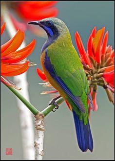 Orange-bellied Leafbird (Male)