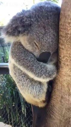 Sweet sleeping koala via aww on March 20 2018 at Cute Little Animals, Cute Funny Animals, Funny Koala, Baby Animal Videos, Sleeping Animals, Australian Animals, Tier Fotos, Cute Animal Pictures, Cute Creatures