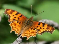 Picture of satyr comma butterfly, anglewing or Polygonia  satyrus host/nectar plants: stinging nettles.