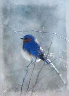 Blue Bird Photograph - Fine Art Print by Fran J Scott
