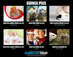 What I Really Do Meme, Guinea Pigs