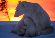 Amazing Polar Bears by David Jenkins