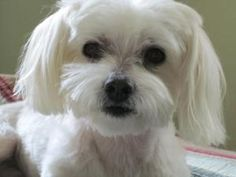 Salty (FL) is an adoptable Maltese Dog in Gainesville, FL. Salty is 6 years old and weighs 9 lbs. He is a special fella, wanting only to be loved. He loves to snuggle and be held, soaking in the love ...
