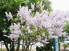 """Lilac Festival in Odori Park"" Sapporo Hokkaido Japan [2015.05.20]"