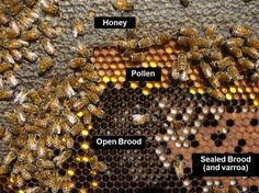 Terrific site on hives and stages of bee keeping Honey Bee Hives, Honey Bees, Beekeeping For Beginners, Buzzy Bee, Raising Bees, I Love Bees, Backyard Beekeeping, Save The Bees, Bee Happy