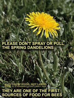 This is True! Early in the spring as I was about to pull out a Dandelion, I saw a bee on it and decided to leave it be. Save Our Earth, Bee Friendly, Tree Care, Save The Bees, Bee Keeping, Mother Earth, Garden Landscaping, Fun Facts, Landscape