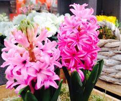 Prachtig en helemaal Lente, deze Hyacinten!