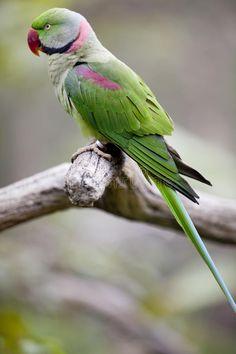 Papagaio-alexandrino (Psittacula eupatria)