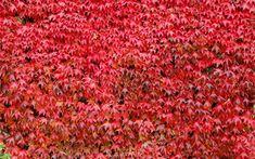 virginia-creeper Climbing Flowers, Climbing Vines, Shade Annuals, Shade Plants, Garden Shrubs, Shade Garden, Climbers For Shade, Virginia Creeper Vine, Gardens
