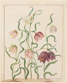Johanna Helena Herolt (1668-1723): Vritilaria (Schachblume)
