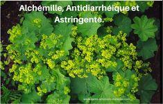 Alchémille, Antidiarrhéique et Astringente