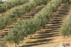 Fertirriego de precisión del olivar // Olive grove fertigation